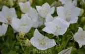 zvonek karpatský White Clips - Campanula carpatica White Clips