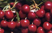 třešeň obecná Van - Prunus avium Van