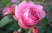 růže Leonardo de Vinci - Rosa Leonardo de Vinci