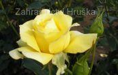 růže Sun Flare - Rosa Sun Flare