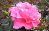 růže Romance - Rosa Romance
