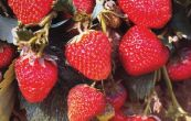 jahodník zahradní Elsanta - Fragaria × ananassa Elsanta
