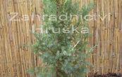 jalovec čínský Stricta Variegata - Juniperus chinensis Stricta Variegata