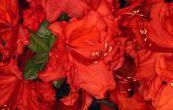 Pěnišník azalka - Knap Hill Feuerwerk - Rhododendron - Azalea - Knap Hill Feuerwerk
