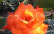 růže France Libre - Rosa France Libre