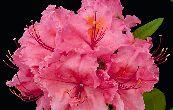 Pěnišník azalka - Knap Hill Sarina - Rhododendron - Azalea - Knap Hill Sarina