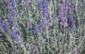 levandule lékařská Hidcote - Lavandula angustifolia Hidcote