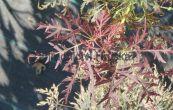 javor dlanitolistý Dissectum - Acer palmatum Dissectum