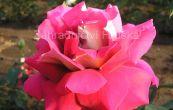 růže Kronenburg - Rosa Kronenburg
