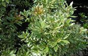 pieris japonský Little Heath - Pieris japonica Little Heath