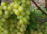 réva vinná Arkadia - Vitis vinifera Arkadia
