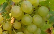 réva vinná Rubanka - Vitis vinifera Rubanka