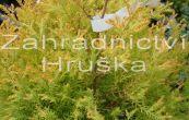 zerav západní Rheingold - Thuja occidentalis Rheingold