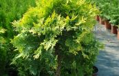 zerav západní Golden Globe - Thuja occidentalis Golden Globe