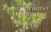 borovice hustokvětá Aurea - Pinus densiflora Aurea