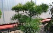 borovice hustokvětá Pygmaea - Pinus densiflora Pygmaea