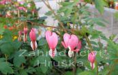 srdcovka nádherná Rosea - Dicentra spectabilis Rosea