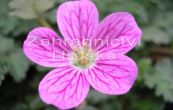 pumpava Bishop's Form - Erodium variabile Bishop's Form