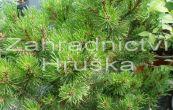 borovice kleč Ophir - Pinus mugo Ophir