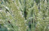 smělek sivý - Koeleria glauca