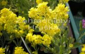 tařice skalní Summit Golden Yellow - Aurinia saxatilis Summit Golden Yellow