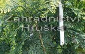cypřišek Lawsonův Alumigold - Chamaecyparis lawsoniana Alumigold