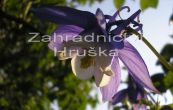 orlíček Spring Magic Blue and White - Aquilegia flabellata Spring Magic Blue and White