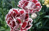 hvozdík - Dianthus