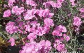hvozdík sivý Pink Jewel - Dianthus gratianopolitanus Pink Jewel