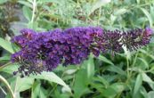 komule Davidova Black Knight - Buddleja davidii Black Knight