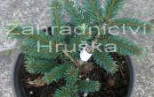 smrk ztepilý Pumila Glauca - Picea abies Pumila Glauca
