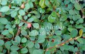 skalník zimostrázolistý Nana - Cotoneaster buxifolius Nana
