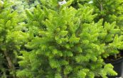 smrk ztepilý Wills zwerg - Picea abies Wills zwerg