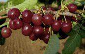 třešeň obecná Lapins - Prunus avium Lapins