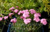 hvozdík - Dianthus microlepis