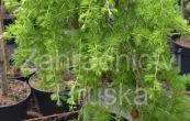 modřín japonský Pendula - Larix kaempferi Pendula