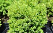 smrk sivý Alberta Globe - Picea glauca Alberta Globe