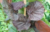 líska obecná Red Majestic - Corylus avellana Red Majestic