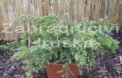 jalovec obecný Repanda - Juniperus communis Repanda