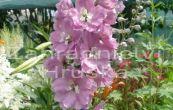 stračka Astolat - Delphinium pacific Astolat