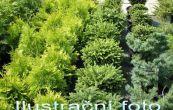 jalovec prostřední Pfitzeriana Aurea - Juniperus × pfitzeriana Pfitzeriana Aurea