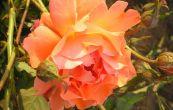 růže Westerland - Rosa Westerland