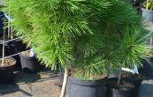 borovice černá Compacta - Pinus nigra Compacta