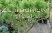 borovice hustokvětá Umbraculifera - Pinus densiflora Umbraculifera