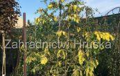 metasekvoje čínská Goldrush - Metasequoia glyptostroboides Goldrush