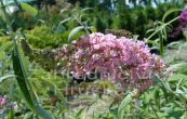 komule Davidova Pink Delight - Buddleja davidii Pink Delight
