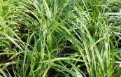 ostřice morrowova Variegata - Carex morrowii Variegata