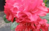 Pěnišník Scarlet Wonder - Rhododendron Scarlet Wonder