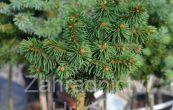 smrk ztepilý Saša (na kmínku) - Picea abies Saša (na kmínku)