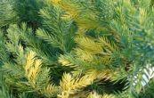 jalovec čínský Expansa Aureospica - Juniperus chinensis Expansa Aureospica